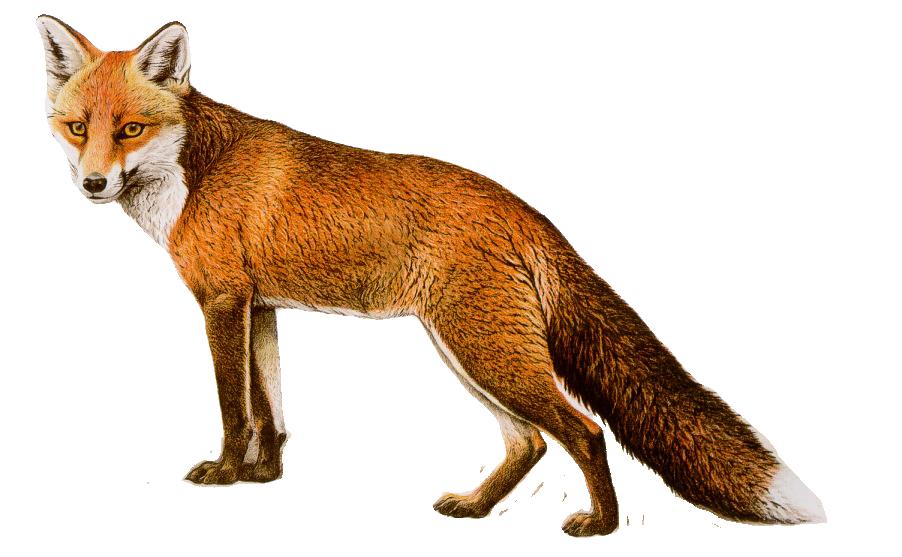 Fox PNG - 18746
