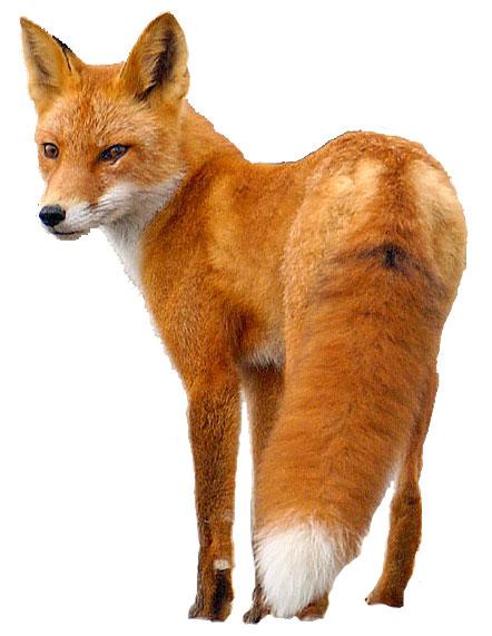 Fox PNG - 18756