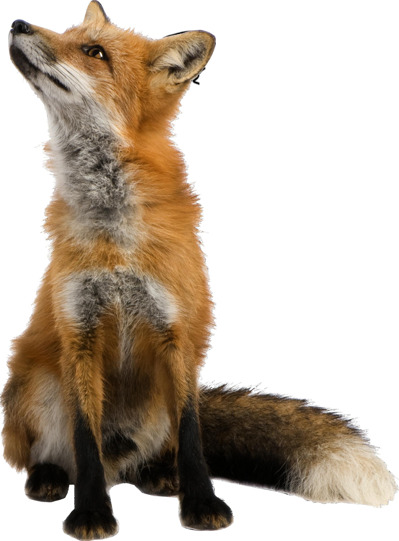 Fox PNG - 18749