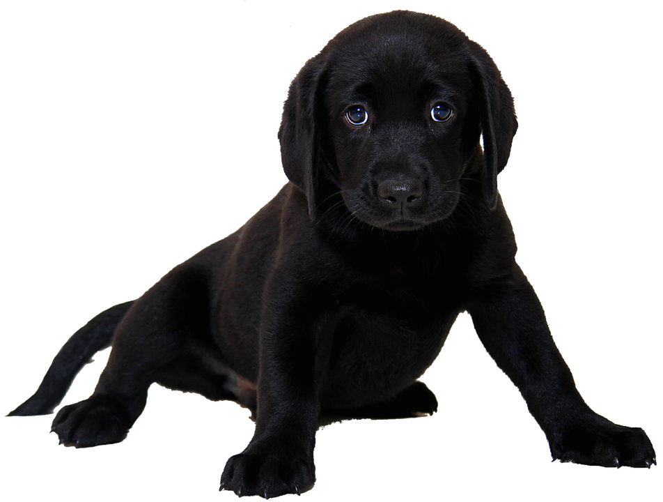 isolated labrador dog animal purebred dog puppy - Free Black And White PNG Of Dogs