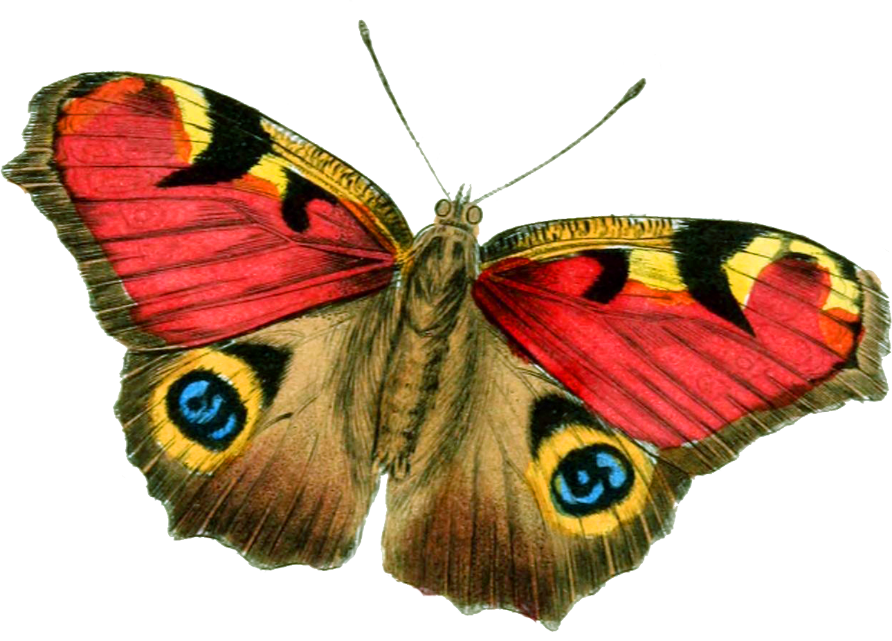 Free Butterfly PNG HD  - 130603
