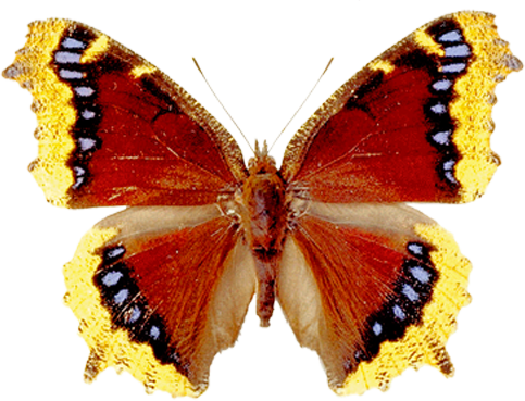 Free Butterfly PNG HD  - 130593