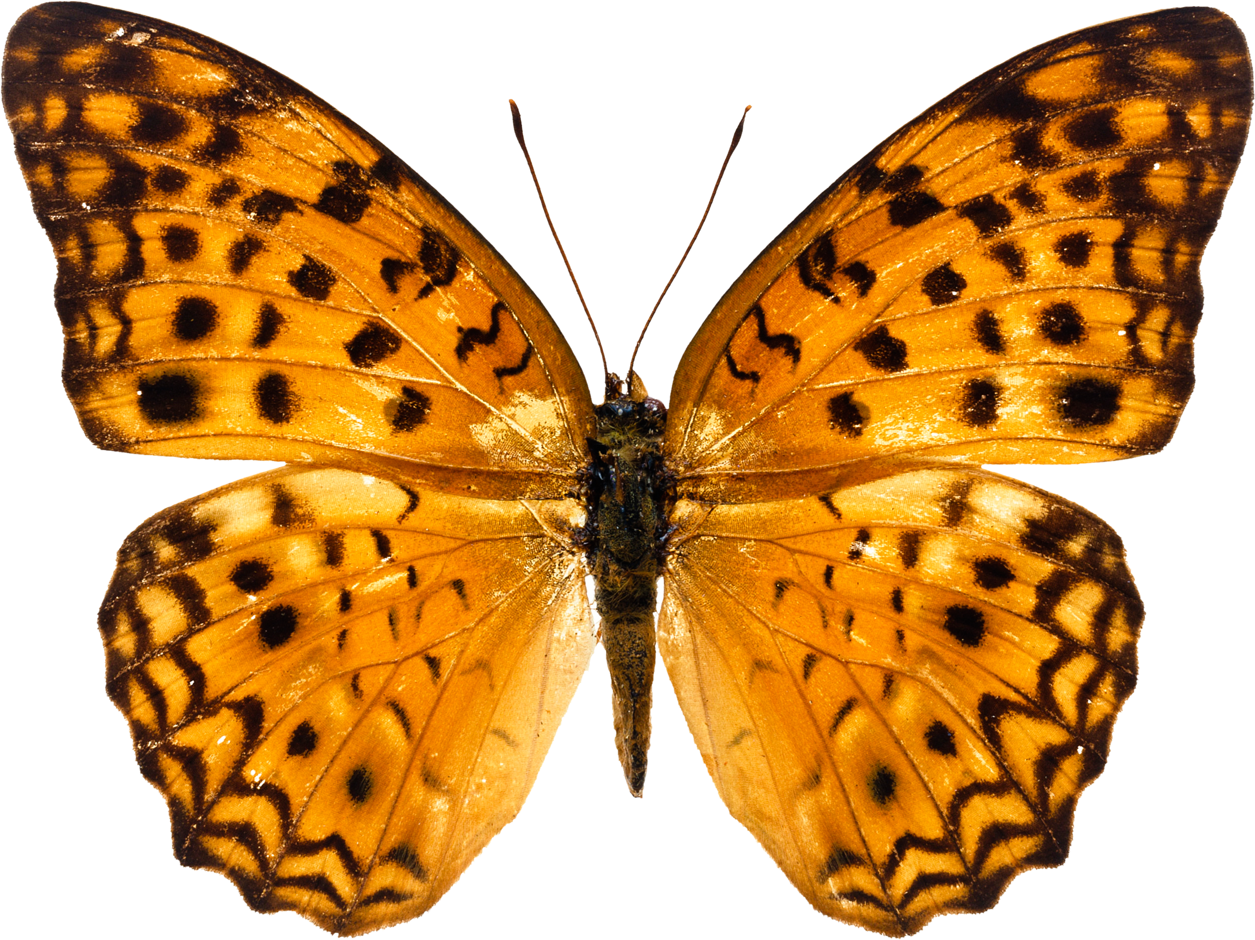 Free Butterfly PNG HD  - 130595