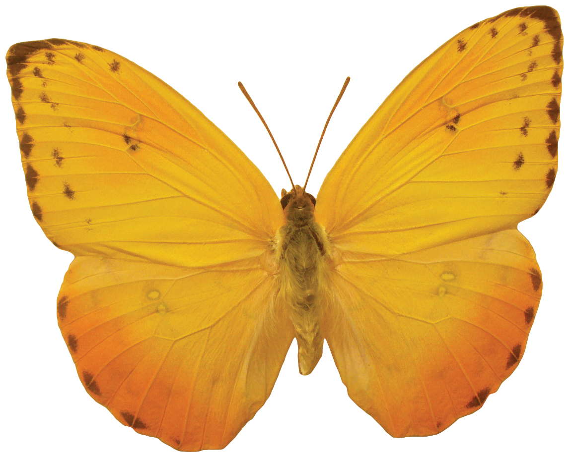 Orange butterfly PNG image, butterflies free download - Free Butterfly PNG HD
