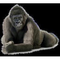Gorilla Free Png Image PNG Image - Free Gorilla PNG