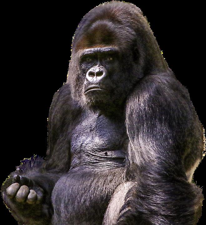 Gorilla, Primate, Animal, Wild, Zoo, Mammal, Ape, Png - Free Gorilla PNG
