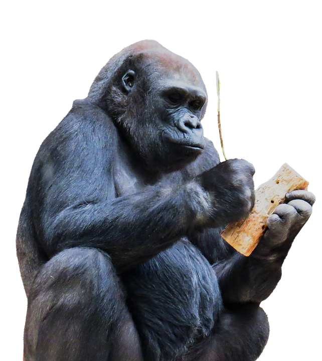 Monkey, Gorilla, Mountain Gorilla, Eat, Tool, Honey - Free Gorilla PNG