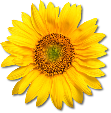 Sunflowers PNG - 6597