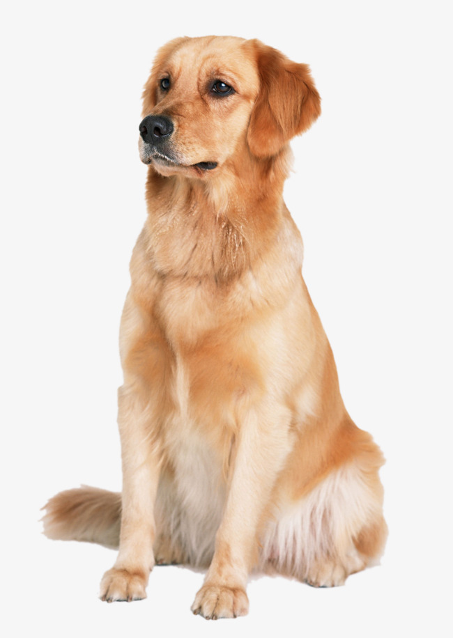 golden retriever dog, Pet Dog, Animal Material, Golden PNG Image and Clipart - Free Labrador Retriever PNG