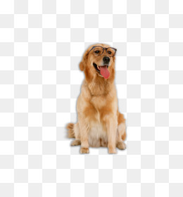 Golden Retriever Labrador Retriever Poodle Bichon Frise The Intelligence of  Dogs - Golden Retriever dog - Free Labrador Retriever PNG