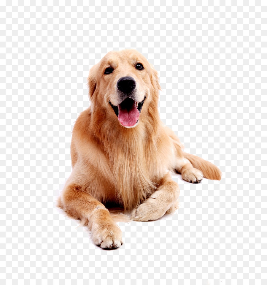 Golden Retriever Labrador Retriever Puppy - Dog pet Golden Retriever - Free Labrador Retriever PNG
