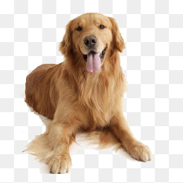 golden retriever large dog, Golden, Dog, Guide Dog PNG Image and Clipart - Free Labrador Retriever PNG