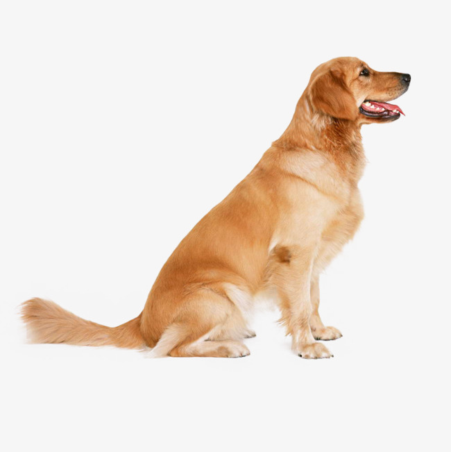 golden retriever puppy, Element, Element Dog, Dog PNG Image and Clipart - Free Labrador Retriever PNG