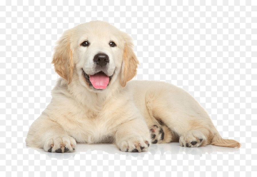 Golden Retriever Siberian Husky Labrador Retriever Border Collie Puppy - golden  retriever - Free Labrador Retriever PNG