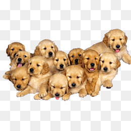 labrador, Pet, Pet Dog, Labrador PNG Image and Clipart - Free Labrador Retriever PNG