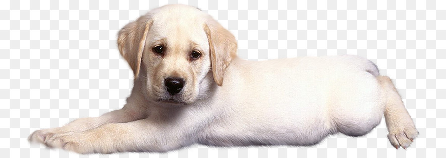 Labrador Retriever Golden Retriever Puppy Dog breed - Sad puppy - Free Labrador Retriever PNG
