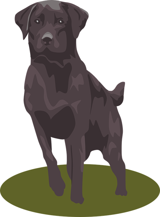 labrador retriever mammal animal pet dog purebred - Free Labrador Retriever PNG
