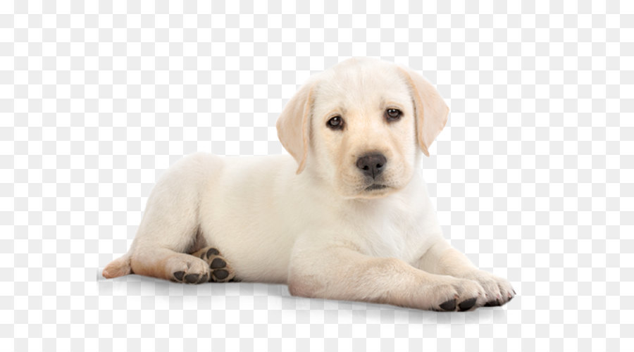Labrador Retriever Puppy Kitten Cat Pet - dog PNG image - Free Labrador Retriever PNG