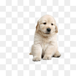 white labrador dog, White, Labrador Dog, Dog PNG Image and Clipart - Free Labrador Retriever PNG