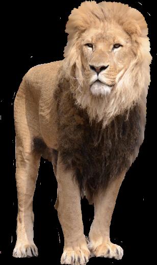 Free Lion PNG HD  - 128253