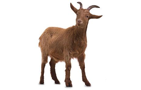 Free PNG Goat - 53103
