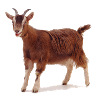 PNG Goat