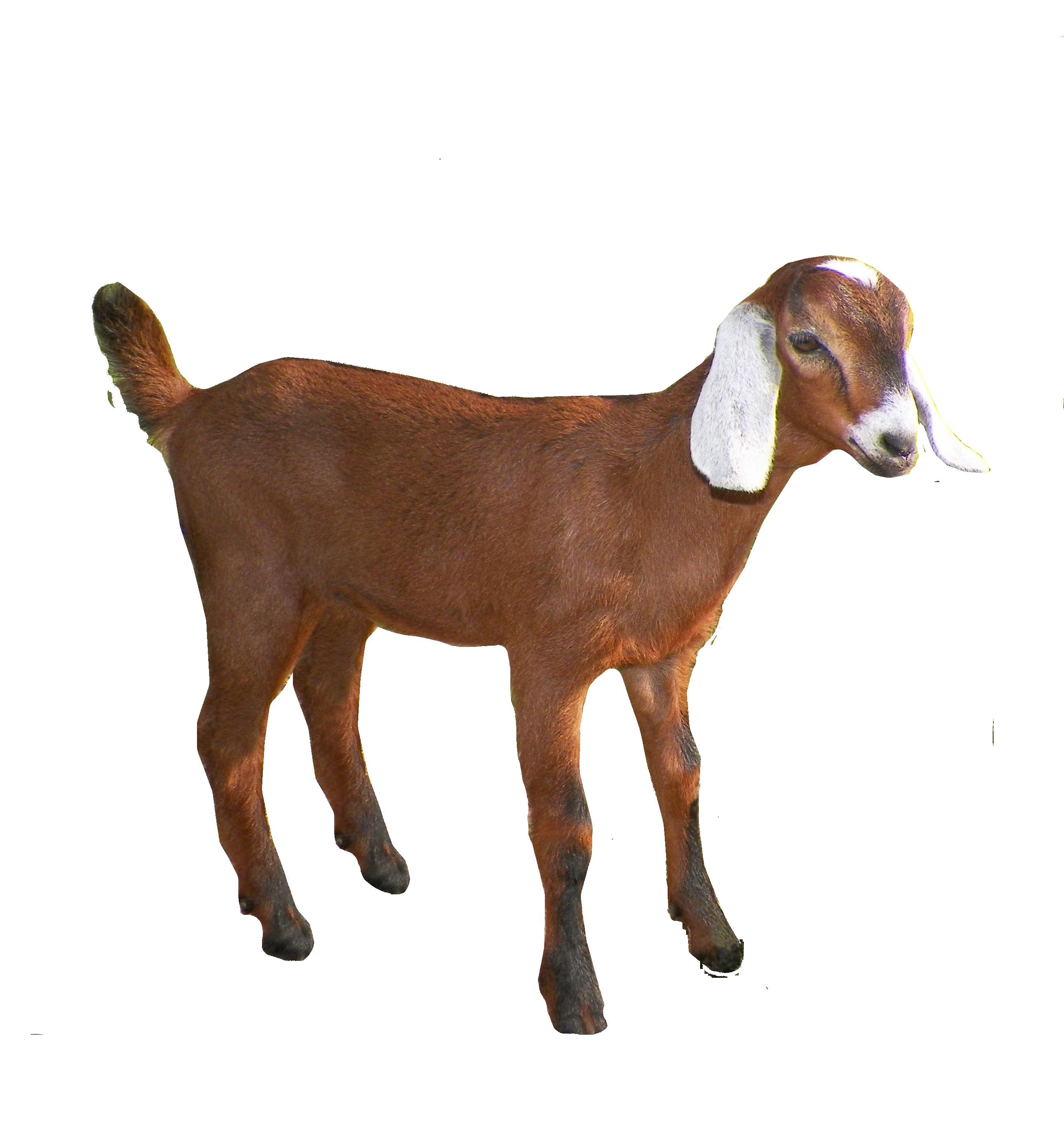 Free PNG Goat - 53108