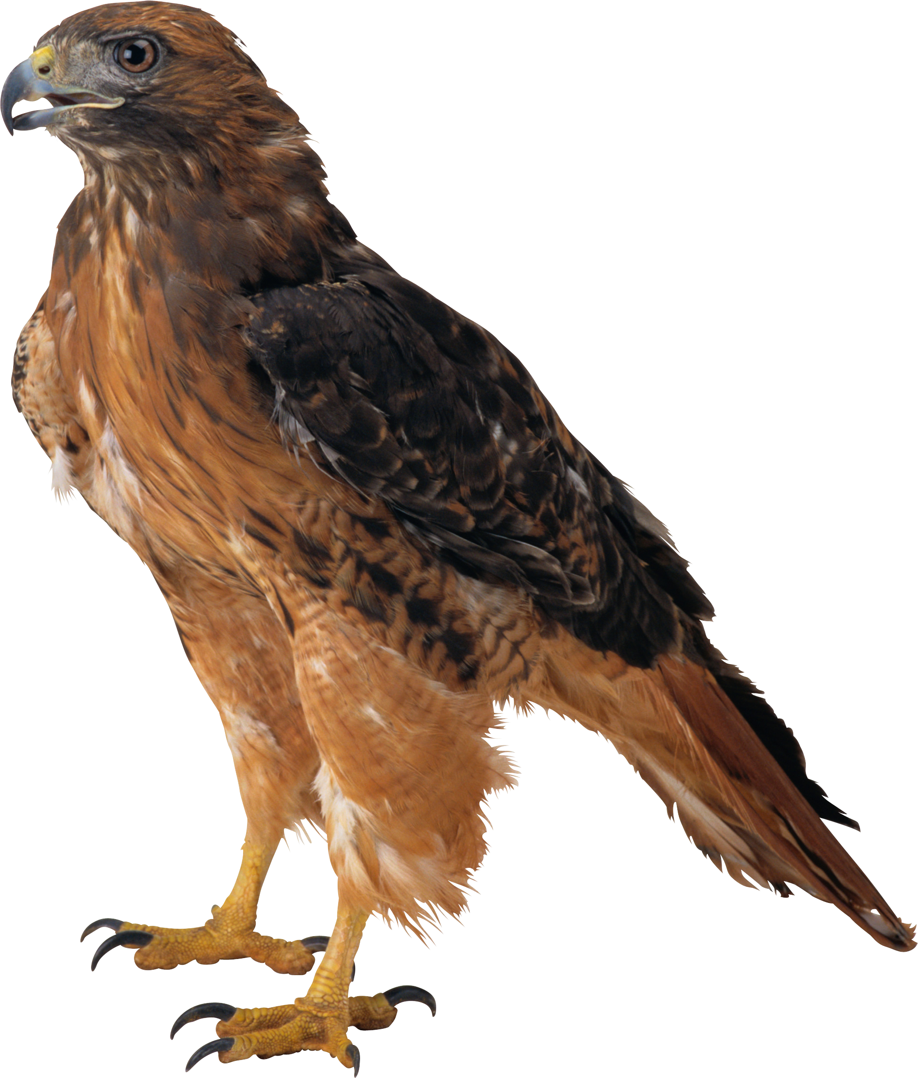 Download - Free PNG HD Of Eagles