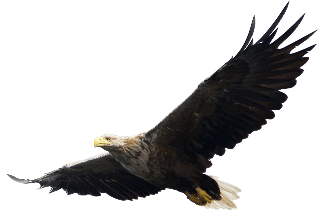 Eagle PNG image, free download - Free PNG HD Of Eagles