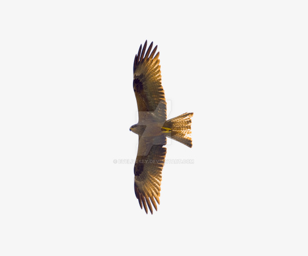 flying eagles, Eagle, Flight, Fly PNG Image and Clipart - Free PNG HD Of Eagles