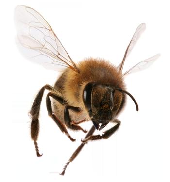 Free PNG Honey Bee - 47280