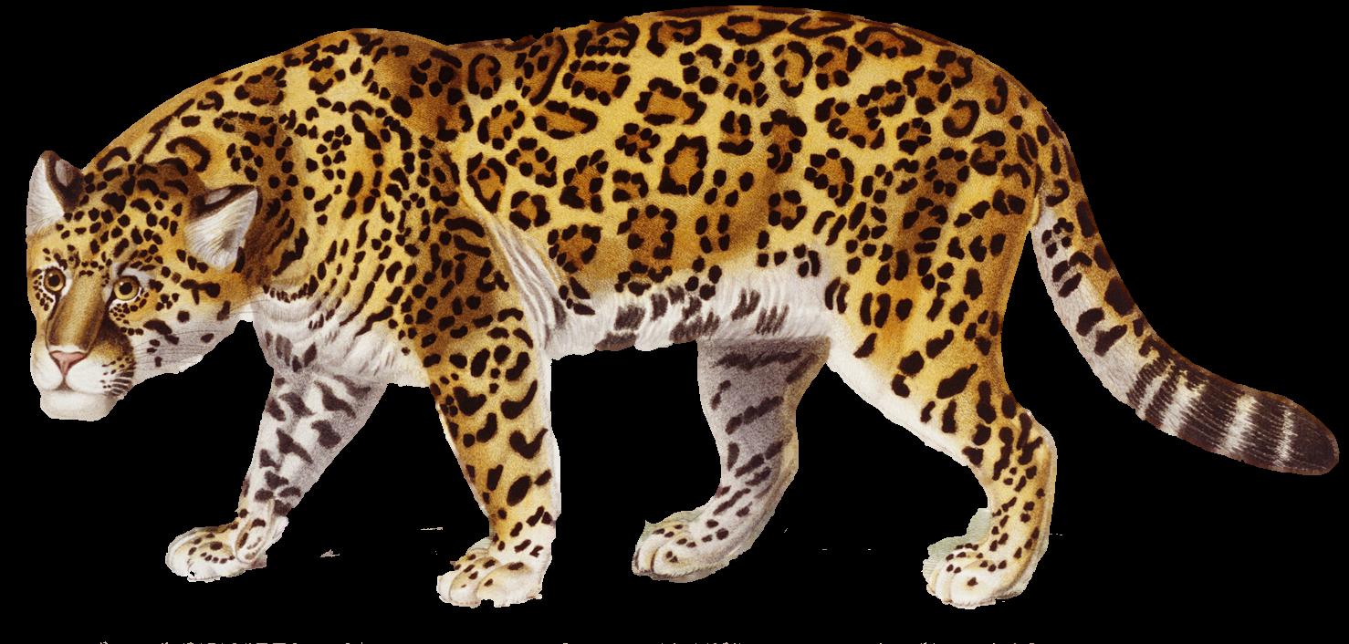 Jaguar - Free PNG Jaguar