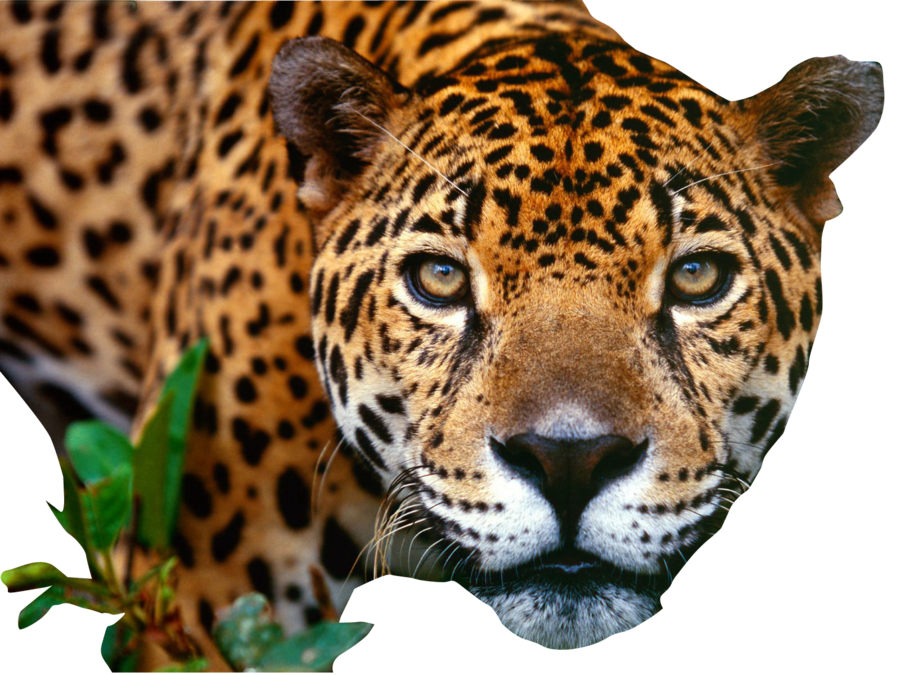 Jaguar Clipart Item 3 Vector