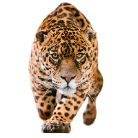 Jaguar Clipart Item 3 Vector