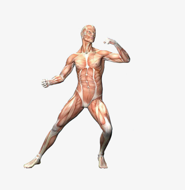 body parts, Nervous System, Skin, Artwork PNG Image and Clipart - Free PNG Of Body Parts