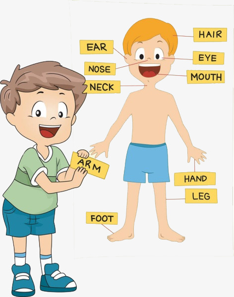 boy schematically body parts, Free Pull, Cartoon, Body PNG Image and Clipart - Free PNG Of Body Parts