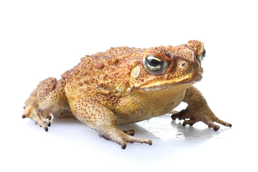 Cane Toad - Frog And Toad PNG