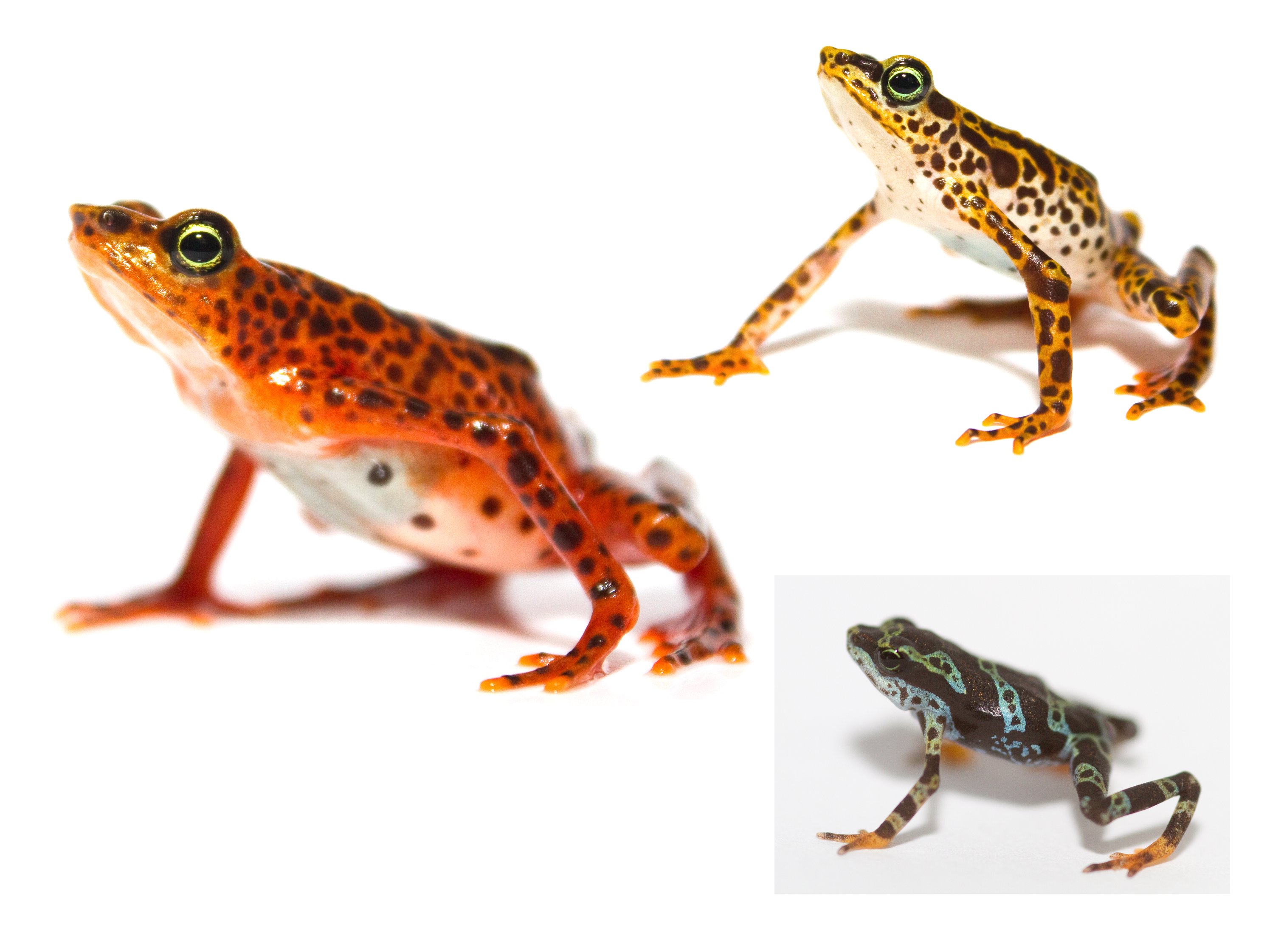 File:Toad Mountain Harlequin frog (Atelopus certus) pair juvenile.png - Frog And Toad PNG
