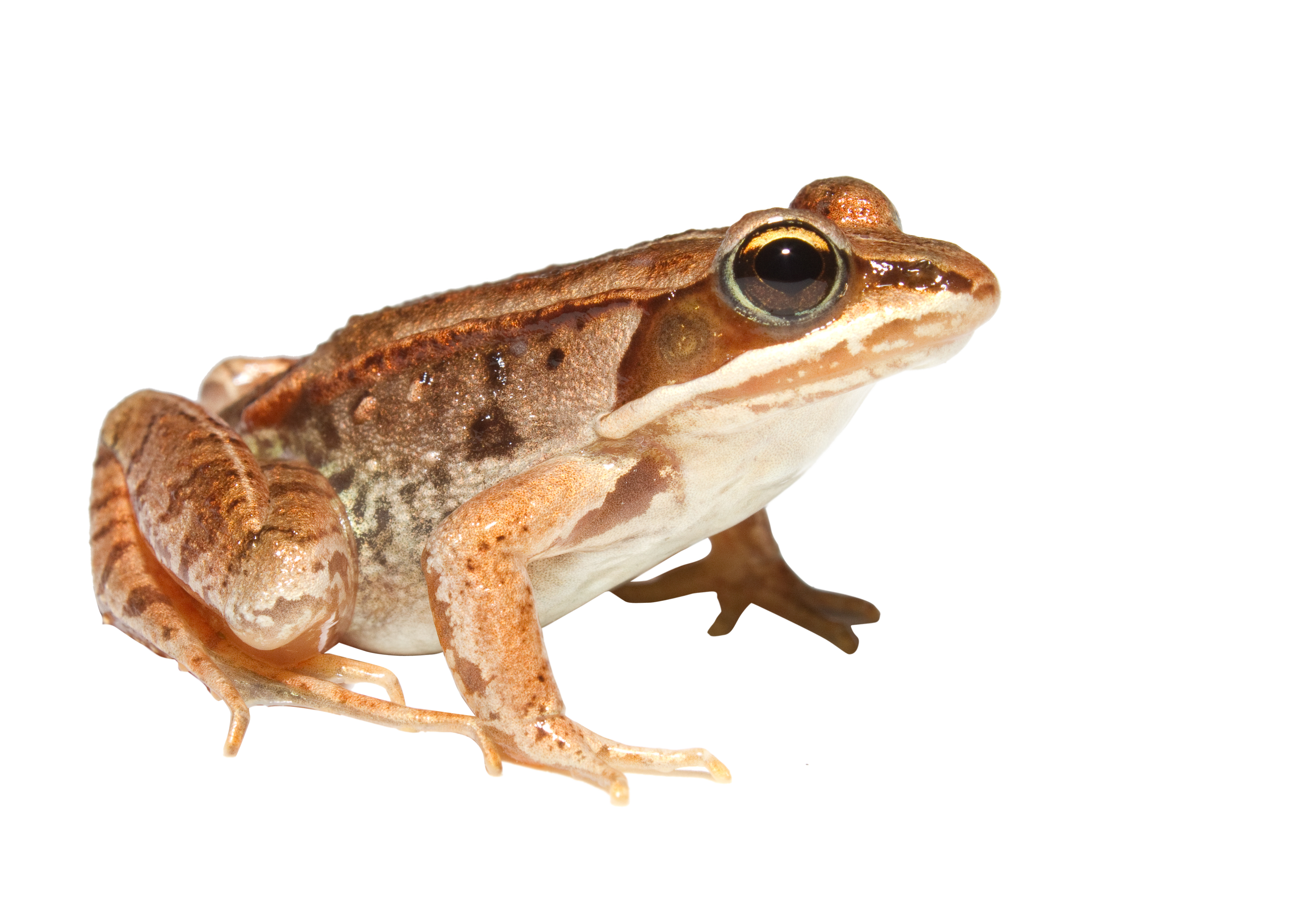 orange Toad PNG Image - PurePNG | Free transparent CC0 PNG Image Library - Frog And Toad PNG