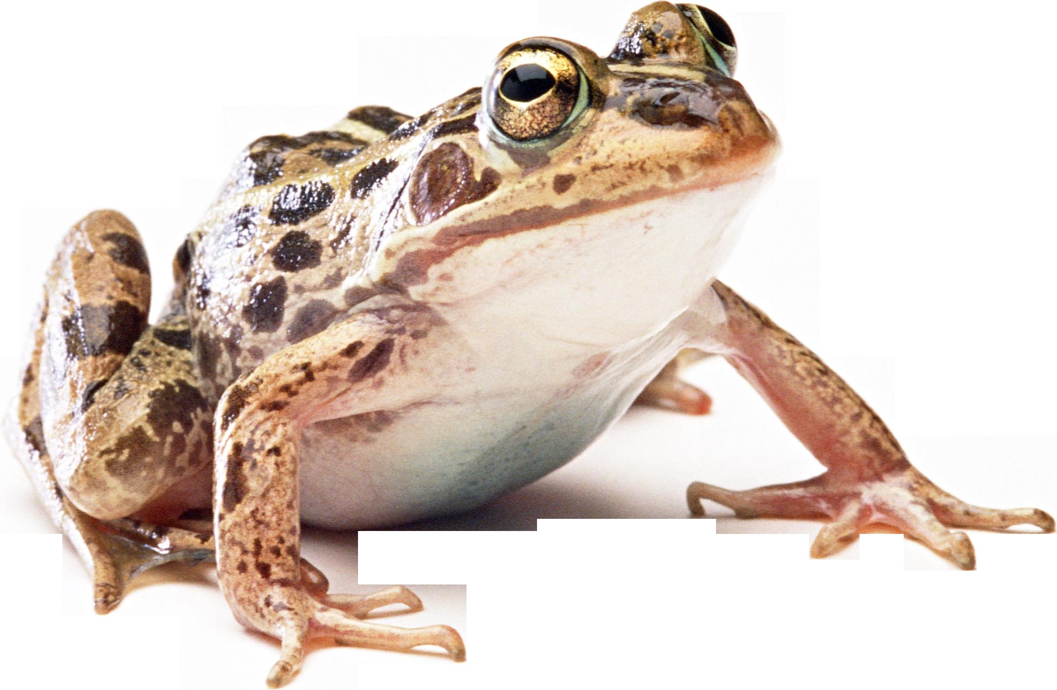 Download PNG image: frog PNG image - Frog PNG HD