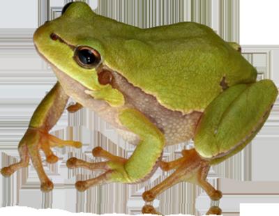 Frog HD PNG image #43139 - Frog PNG - Frog PNG HD