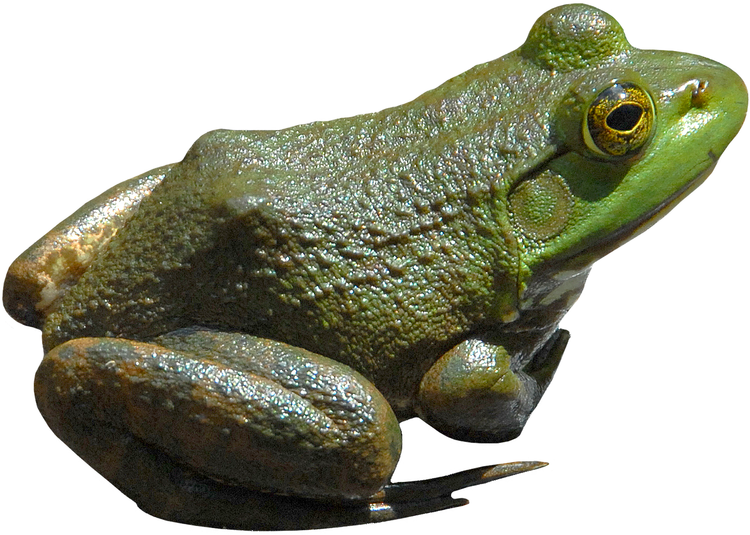 Frog PNG - Frog PNG HD
