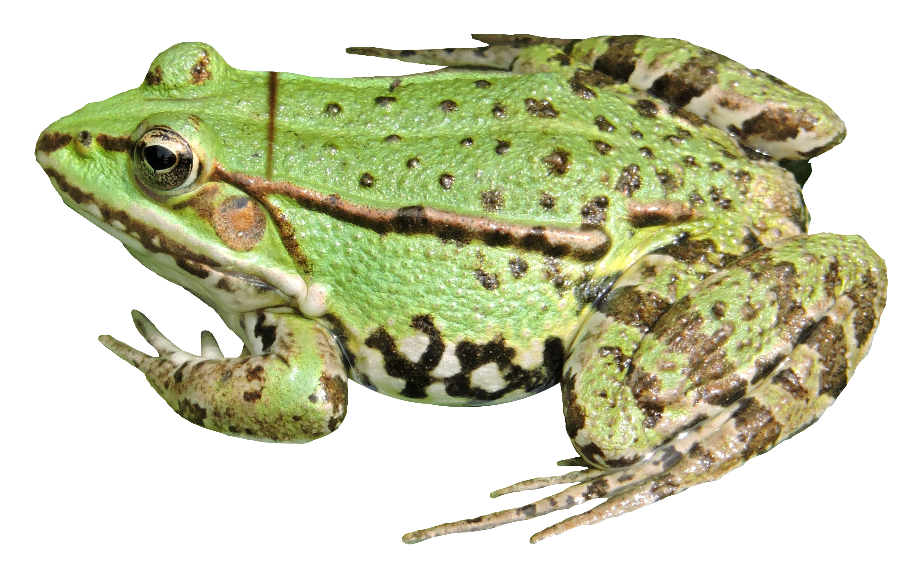 Frog PNG HD