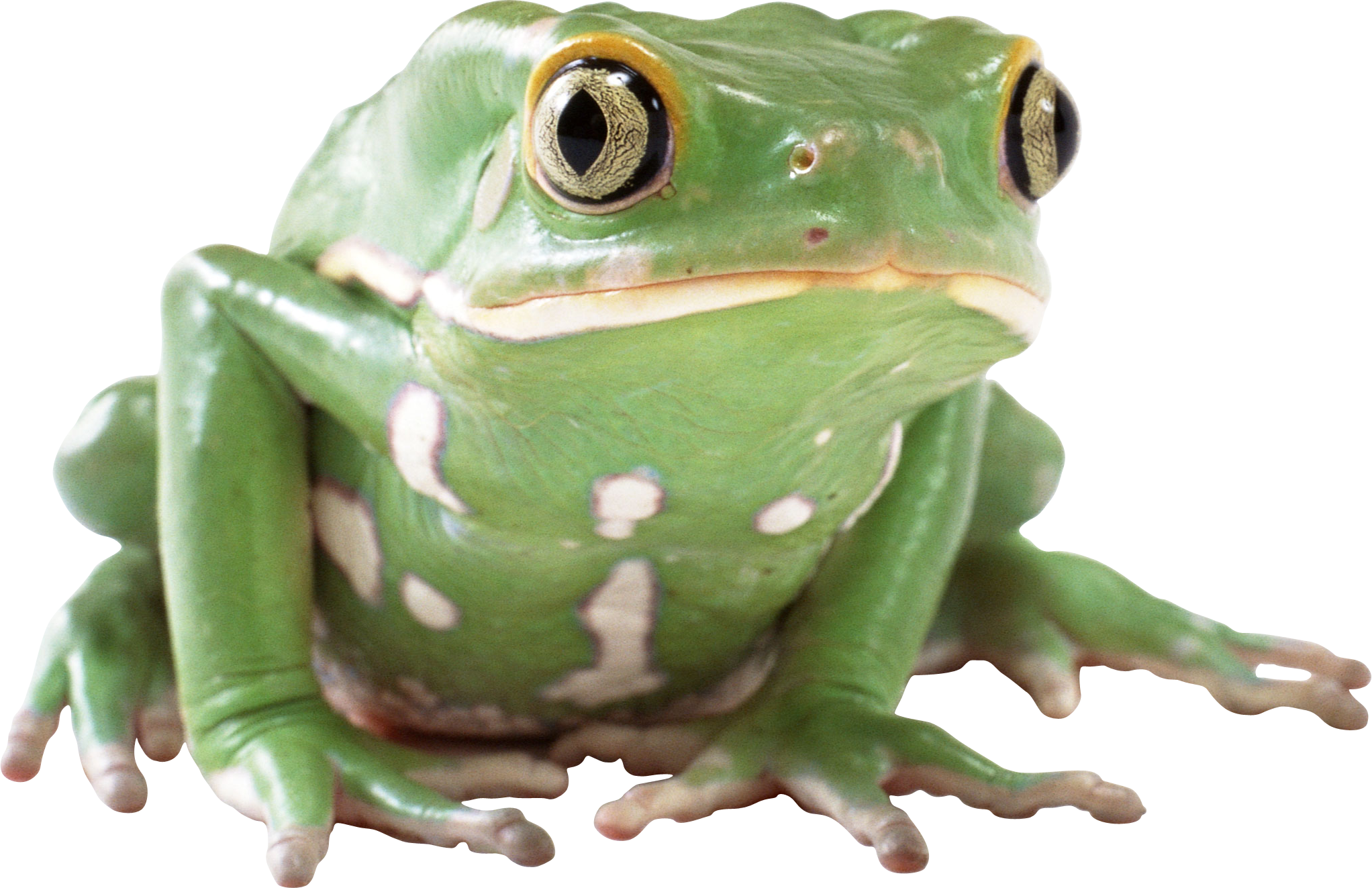 frog PNG image - Frog PNG HD