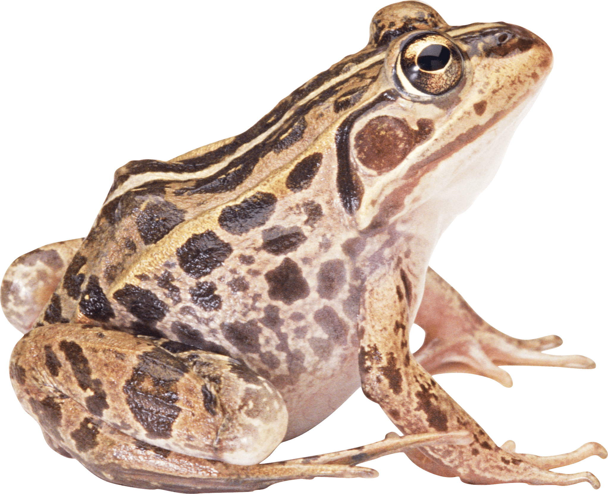 Frog Png Image PNG Image - Frog PNG HD
