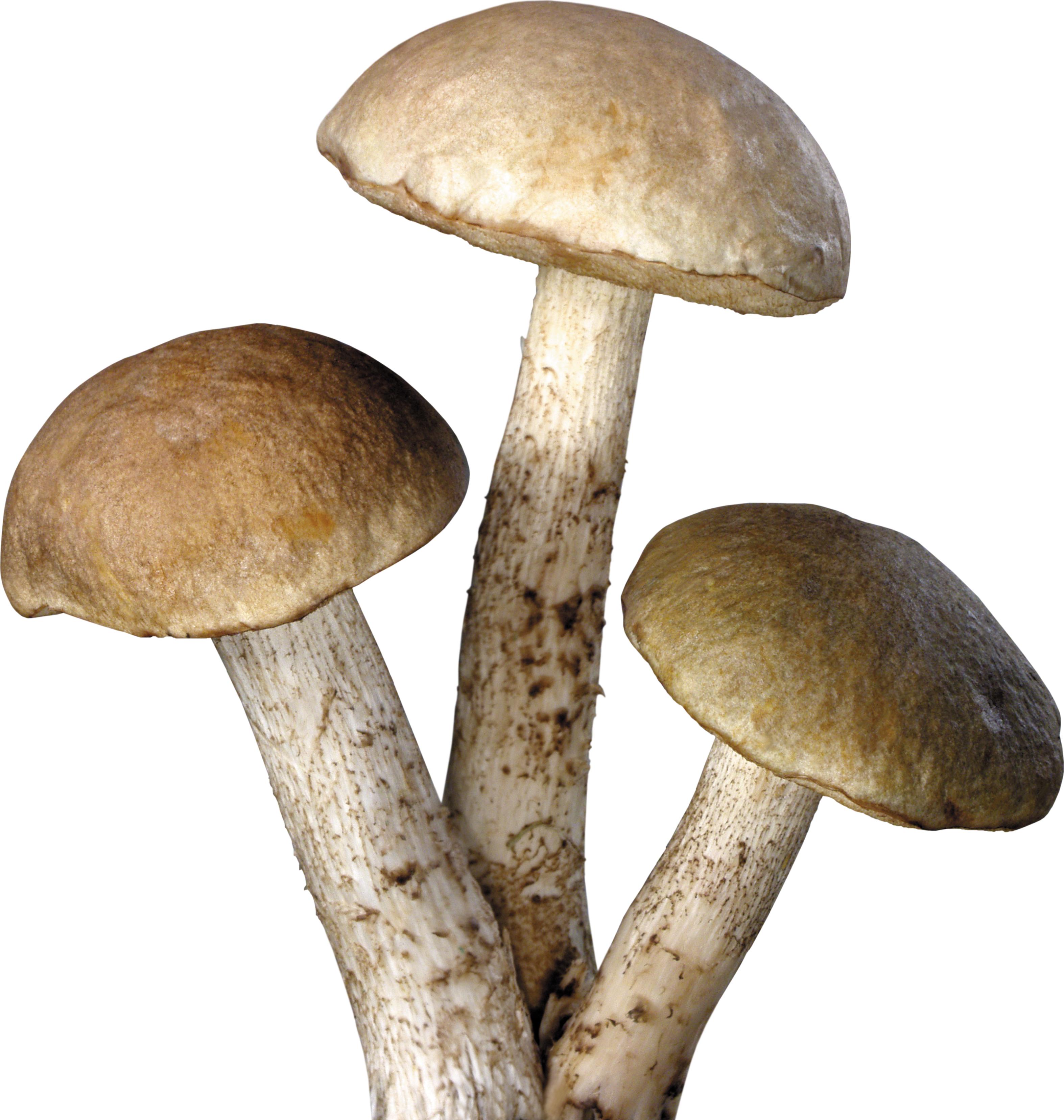 Mushroom PNG image - Fungi PNG HD