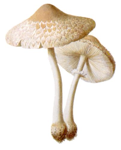 mushrooms Macrolepiota excoriata - Fungi PNG HD