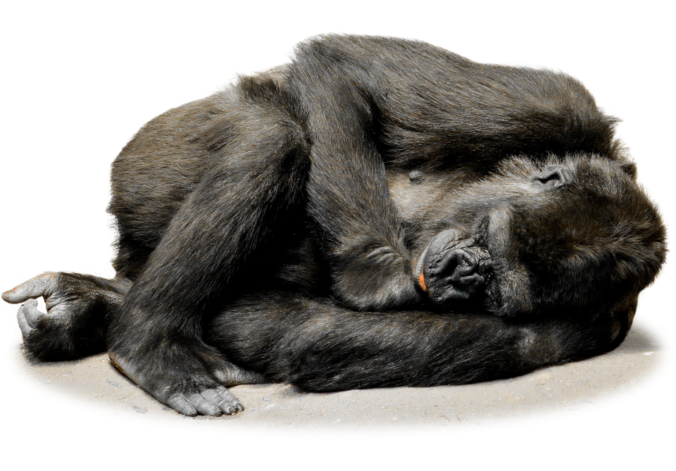 Isolated Gorilla Monkey Face Zoo Mammal Animal - Funny Monkey PNG HD