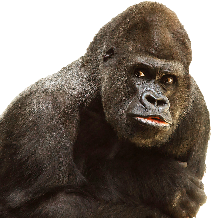 Isolated, White, Gorilla, Monkey, Ape, Primate - Funny Monkey PNG HD