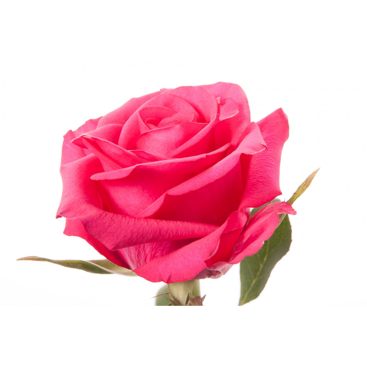 Fuchsia Rose - Hot Paris - Fuschia Flowers PNG